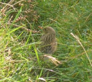 Lanceolated Warbler, Fair Isle